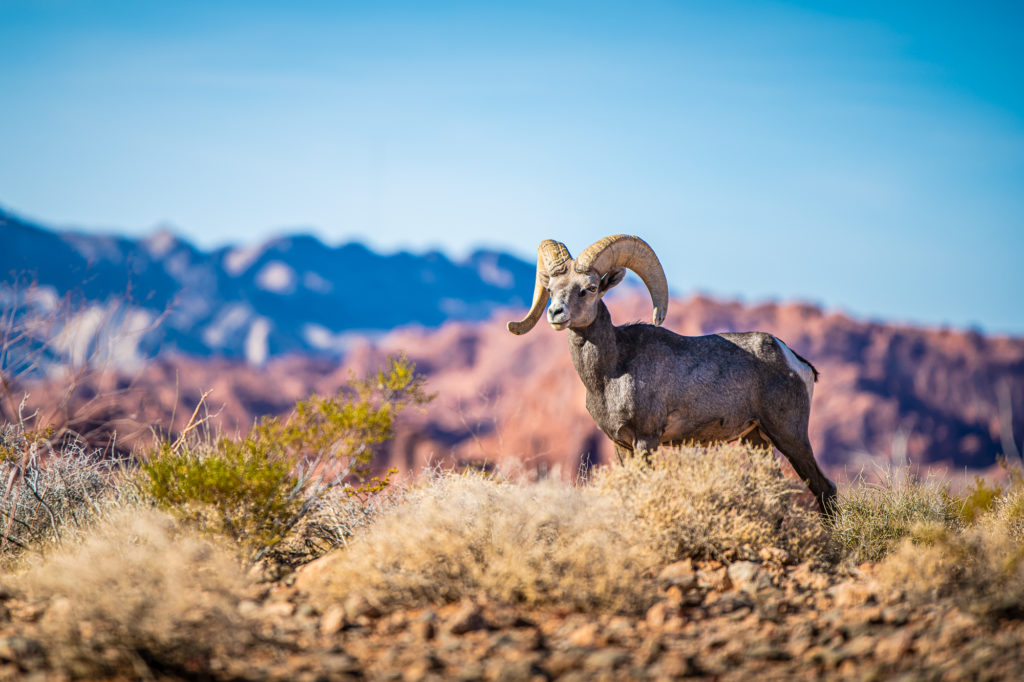 mouflon valley of fire